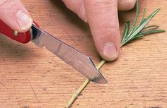 Learn how to propagate rosemary plants from stem cuttings, in this step-by step-guide from the experts at BBC Gardeners' World Magazine. Indoor Garden, Garden Plants, Indoor Plants, Rosemary Plant, Aromatic Herbs, Growing Plants, Aloe Vera, Gardening Tips, Flower Arrangements
