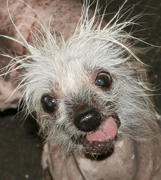 Homely pooches prepare for World's Ugliest Dog contest