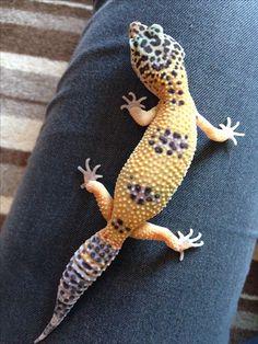 Can anyone tell me the exact morph of my Leo Sali? Leopard Gecko :).