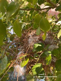 Het lijkt wel voorjaar! Overal in de tuin vogelnestjes. #Curacao Happy Turtle, Plant Leaves, Plants, Plant, Planets