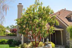 Arbutus 'Marina' Home And Garden, Garden Design, Plants, Tree, Front Yard Landscaping, Arbutus, Backyard Makeover, Arbutus Marina, Succulent Garden Design