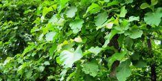 Bán giống Cây Tếch, Cây Giá Tỵ trồng Công trình, trồng rừng