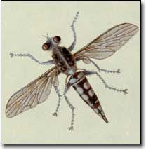 Tachinid flies - beneficial insect I want more of in the garden (eat squash bugs) Squash Bugs, Mother Earth News, Beneficial Insects, Garden Plants, Bees, Sustainability, Wings, Veggies, Environment