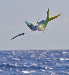 Photographer Pat Ford's images are almost always entertaining. See his collection of photos covering offshore fishing — and its best moments, including jumps, close-up shots of billfish and other species, and scenery looks. Fishing Photos, Fishing Tips, Tackle World, Tuna Fishing, Different Fish, Offshore Fishing, Bait And Tackle, Types Of Fish, Deep Sea Fishing