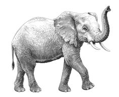 #crosshatch #crosshatching #elephant