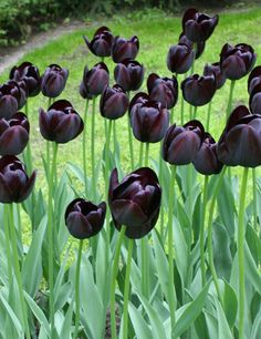 'Queen of Night' tulips. I'd love a flower garden of all black flowers. Black Tulips, Black Flowers, Spring Flowers, Beautiful Flowers, Gothic Garden, Tulip Bulbs, Black Garden, My Secret Garden, White Gardens