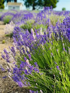 Out at the farm to pick fresh lavender!