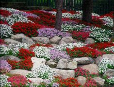 Rock Garden ( Aubretia or Cerastiums are mat-forming and make great groundcover plants. Cushion-forming alpines also like to fall over edges or stone walls.)