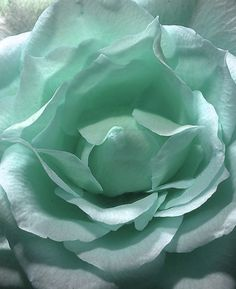 pale aqua blue or turquoise rose macro