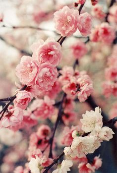 Oh to be able to smell them! • Peach Blossom (by Sugar Crisp)