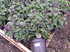 Heliotrope - they like the sun or part shade.  Purple blooms attract butterflies