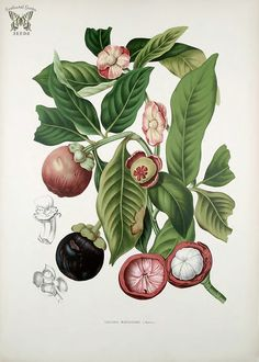 Purple Mangosteen. Garcinia mangostana. Fleurs, fruits et feuillages choisis de l'ille de Java -peints d'après nature par Berthe Hoola van Nooten (1880)