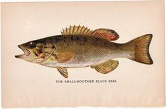 Smallmouth Bass Denton fish vintage lithograph  1895 #Vintage