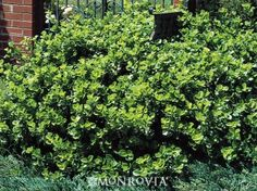 Monrovia's Manhattan Euonymus details and information. Learn more about Monrovia plants and best practices for best possible plant performance.
