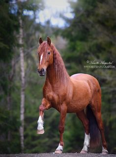 Norwegian Woods by Hestefotograf.dev… on Norwegian Woods by Hestefotograf.dev… on - Art Of Equitation Beautiful Horse Pictures, Most Beautiful Horses, Animals Beautiful, Cute Horses, Pretty Horses, Horse Love, Animals And Pets, Cute Animals, Chestnut Horse