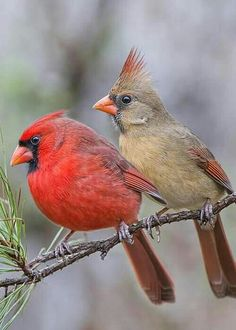 Male and Female Cardinals:)