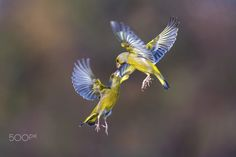 """Kiss in the rainbow - Follow me on my <a href=""""https://www.facebook.com/marco.redaelli.wild.nature.photographer"""">FB page</a>"""