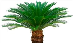 Groupon Goods Global GmbH: Two or Four Cycad King Sago Palm Trees