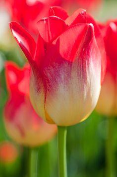 Tulipa 'Apertif' by Georgianna Lane