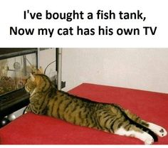I've bought a fish tank, now my cat has his own TV....Cute!!!