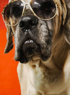 Just Chillin' care to join me ?   #mastiffs