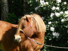 Little Shetland Pony Dean❤ #shetland #shetlandpony #pony #ropehalter #gelding