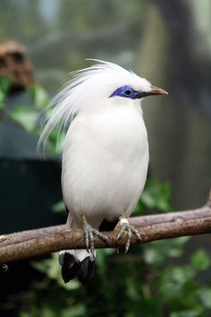 One of a multitude of Mother Nature's amazing designs. Bali Mynah 5 by ~ MegMarcinkus