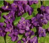 Violet Queen Charlotte - Flowers T to Z - Alpha Search for Flowers - Flowers - Kings Seeds (NZ) Ltd