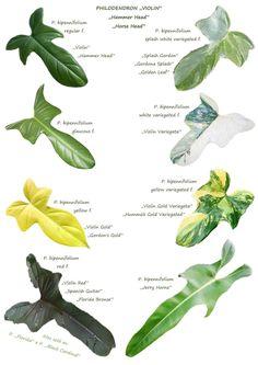 Philadendron Plant, Pothos Plant, Plant Leaves, Ornamental Plants, Foliage Plants, Tropical Garden, Tropical Plants, Fruit Garden, Indoor Shade Plants