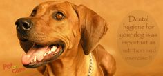 Dental hygiene for your dog is as important as nutrition and exercise.
