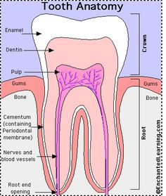 Tooth anatomy.  Excellence In Dentistry www.anchoragesmiles.com