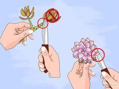 Stecklinge von Sukkulenten vermehren                                                                                                                                                                                 Mehr