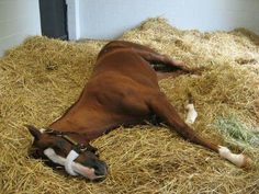 California Chrome decided to take a nap. They had to wake him up for the 2pm show at Taylor Made