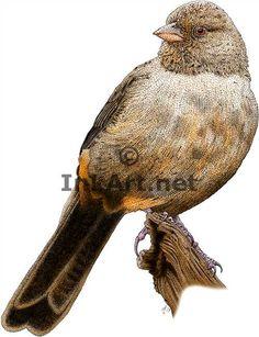 Full color illustration of a California Towhee (Pipilo crissalis)