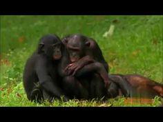 Lustige Bonobo und Affe Paarung auf Bäumen Erstaunlicher