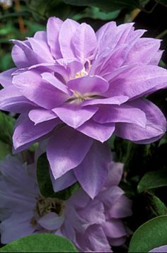 Denny's Double Clematis