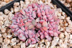 Echeveria Detka crest Rare   Succulent plant bonsai ariocarpus haworthia  cactus