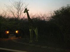 Giraffe visiting at sunset