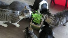 This is the first time we have brought home a fresh catnip plant, and the kitties smelt it before I even had it out of the grocery bag! They were super happy. Catnip Plant, Super Happy, Meet, Kitty, Babies, Cats, Animals, Animais, Gatos