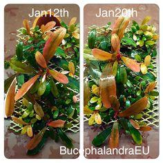 Bucephalandra Pygmea Kanowit