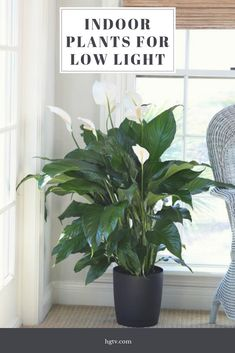If you often forget to water your houseplants, acquire a peace lily, it is forgiving. Incredibly easy to grow, peace lily flourishes in shady locations. It also cleans up the air. Inside Plants, Office Plants, Growing Plants Indoors, Cool Plants, Plant Decor
