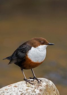 Dipper, on a rock, White Throated Dipper (Cinclus cinclus) Europe and Asia