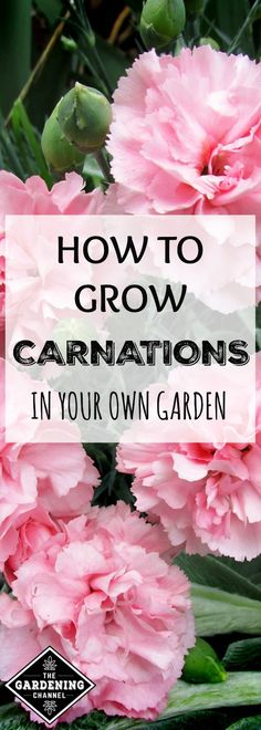 From prom corsages to elementary school science experiments, carnations have many purposes as cut flowers. In the flower garden, they are easy to grow from seeds, transplants and cuttings and make great borders.