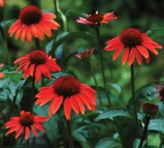 Sunset Orange For Your Garden The Coneflower Sundown, Echinacea Big Sky™ 'Sundown' is another hybrid Coneflower in the Big Sky™ series. The flowers start out being fluorescent rose-pink while buds are expanding, then change to bri Beautiful Flowers, Plants, Flowers, Perennial Border, Drought Tolerant Plants, Plant Tone, My Flower, Flower Garden, Echinacea