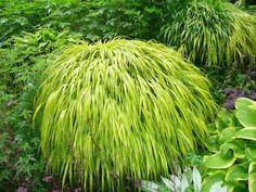 L'herbe du Japon, Hakonechloa macra : conseils de culture et variétés de cette graminée très décorative, en pot ou au jardin.