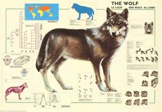 The Wolf El Lobo Facts and Figures Education Poster 27x39 – BananaRoad