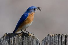 What are the differences between blue bird and a blue jay? What are their similarities?   Blue Bird