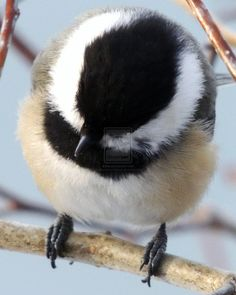 Black-capped Chickdee by juliemathewsfristad on DeviantArt Bird Pictures, Animal Pictures, Wings To Go, Watercolor Artwork, Watercolor Ideas, Black Capped Chickadee, Beautiful Birds, Beautiful Things, Cardinal Birds