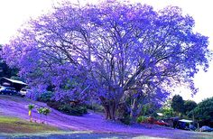 Blue Jacarandas... amazing trees