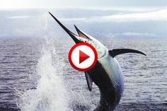 Giant Marlin jumps In Boat!!!!!!!!!!!!!!!!!!!!!!!